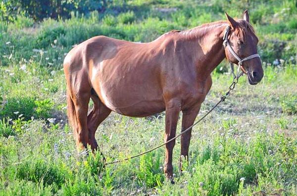 Стоя дремлющая лошадь на лугу