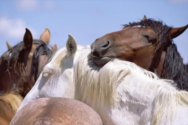 Взрослые кони дремлют вместе