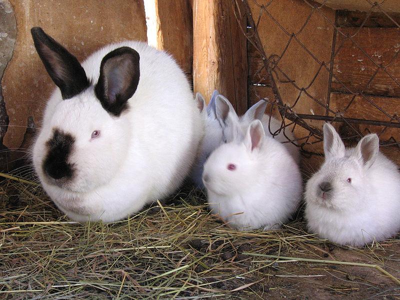 Крольчиха с кроликами калифорнийской породы