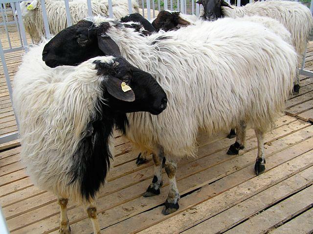 Белые овцы с черными головами