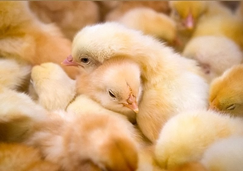 Очень много маленьких цыплят