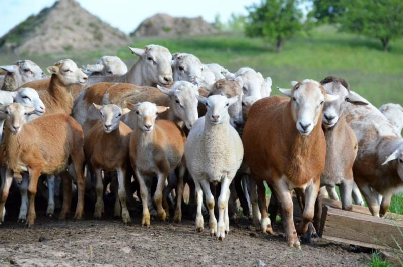Стадо катумских овечек