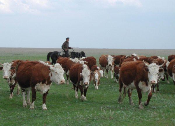 Стадо казахских буренок