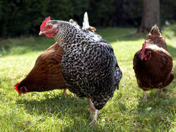 Киргизская серая курица
