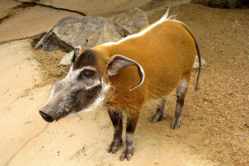 Рыжая свинка кистеухая