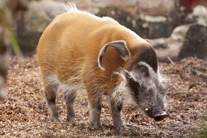 Свинка кистеухая гуляет