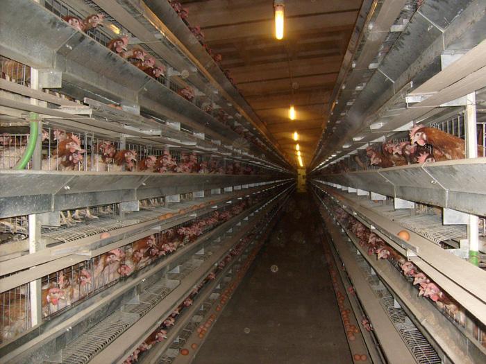 Куры в клетках на ферме