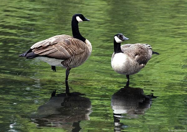Две казарки стоят в воде