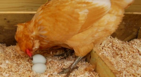Курица клюёт снесённые яйца