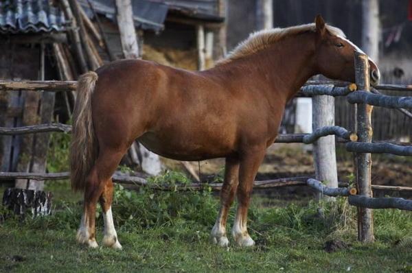 Беременная лошадь в загоне