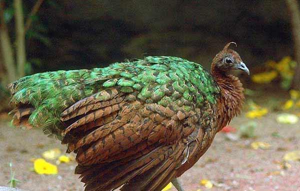 Конголезский павлин в профиль