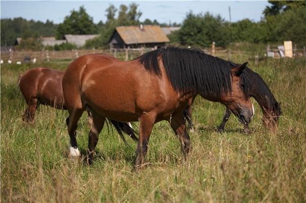 Кони коричневые на выпасе