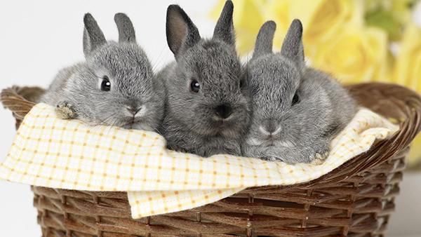 Три серых кролика в корзине