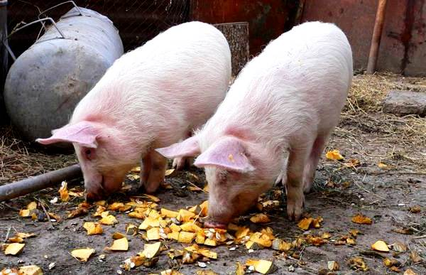 Свинки ищут корм на улице