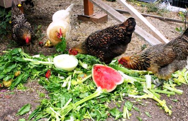 Куры летом едят арбуз и зелень