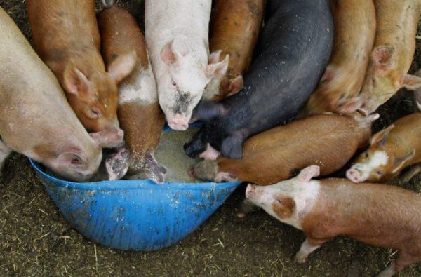 Свиньи едят кормовую смесь