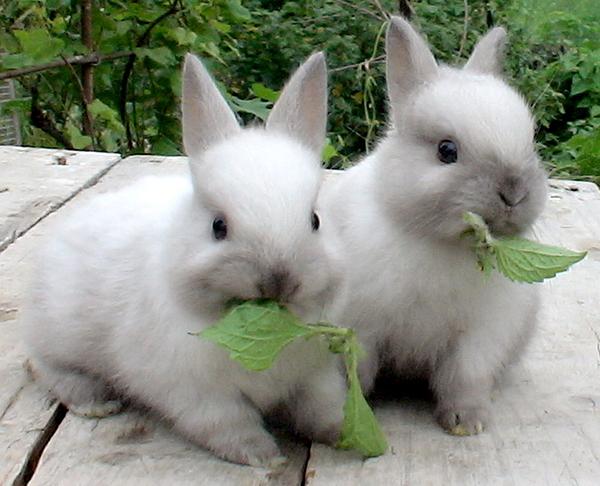 Два белых кролика с травой