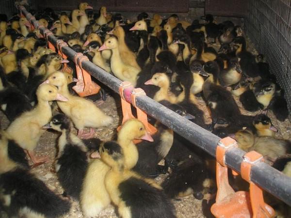 Кормление гусей на большой ферме