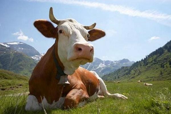 Черно-белая морда коровы с пятнистым носом