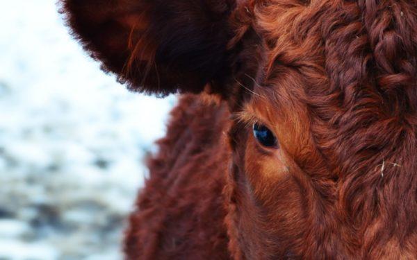 Глаз коровы крупным планом