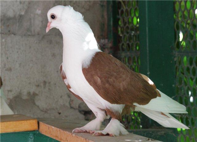 Белый Краснодарский голубь с коричневыми крыльями