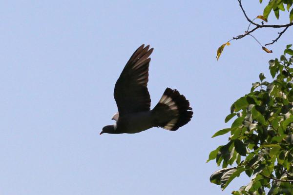 Темный голубь в полете