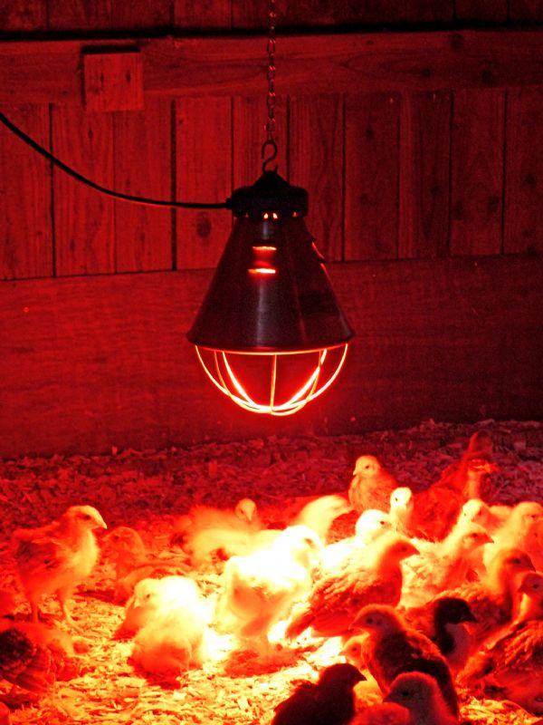 Красная согревающая лампа в курятнике