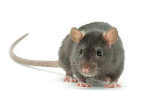 Серая крыса крупным планом