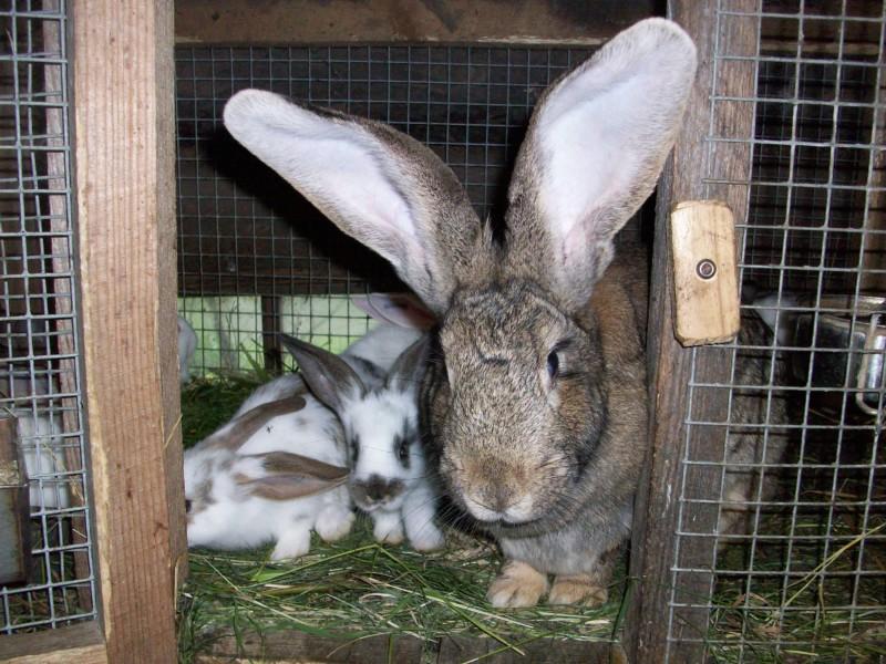 Крольчиха с малышами в клетке