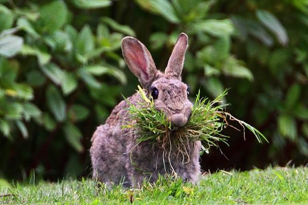 Кролик ест траву