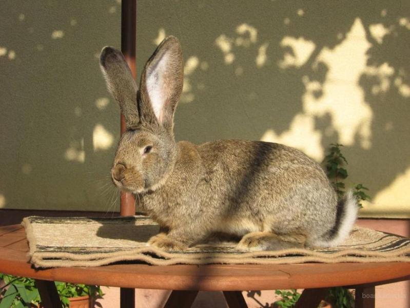 Подготовка кролика к забою