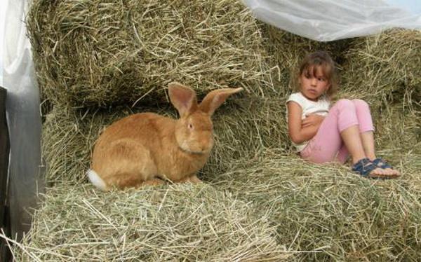 Девочка и рыжий ушастик на сене