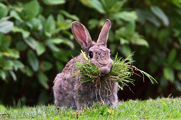Ушастик ест пучок травы