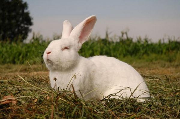 Кролик белый акселерат