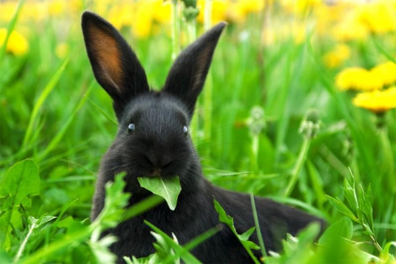Черный кролик на лужайке ест листик