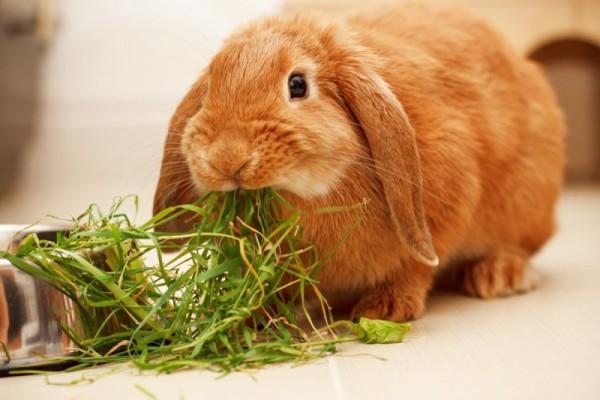 Рыжий кролик ест травку