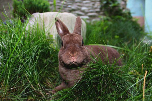 Свободный выгул кроликов