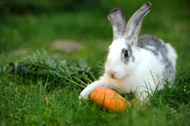 Белый кролик с морковью