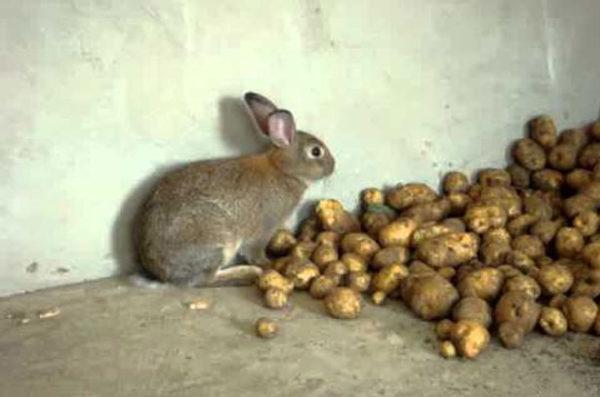 Картофель в рационе кроликов