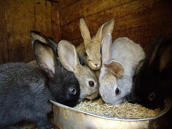 Несколько кроликов едят