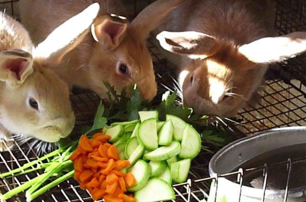 Кролики едят нарезанные овощи