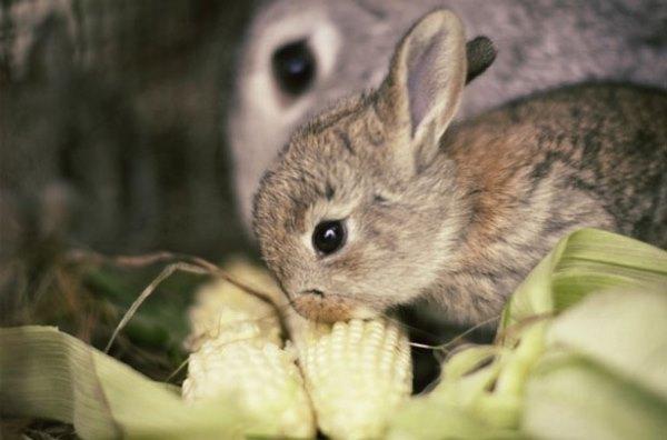 Крольчонок ест кочан кукурузы