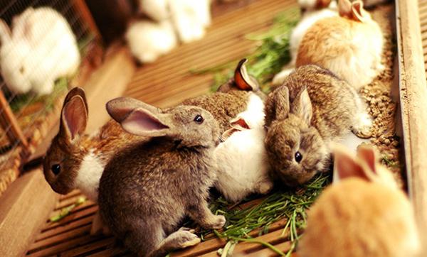 Несколько кроликов кушают