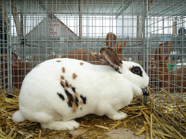 Кролик бабочка в клетке на выставке