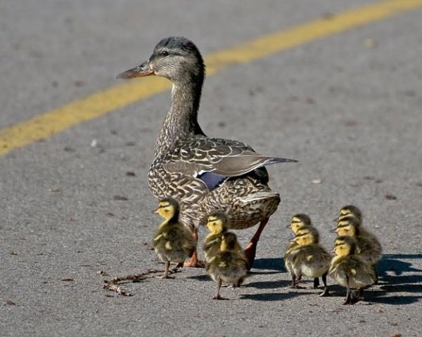 Утка с утятами переходит дорогу