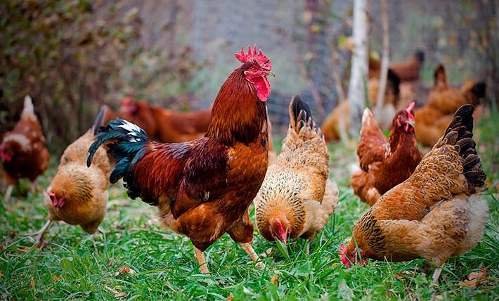 М'ясо яєчні породи курей