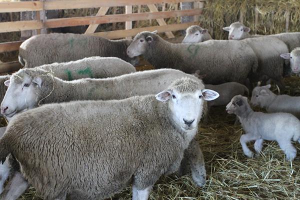 Несколько куйбышевских овец в загоне