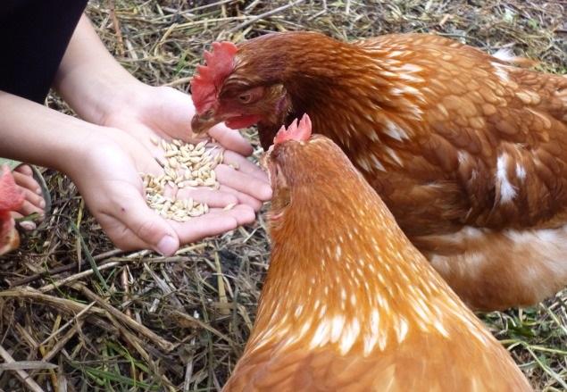 Курочки клюют зерно из рук