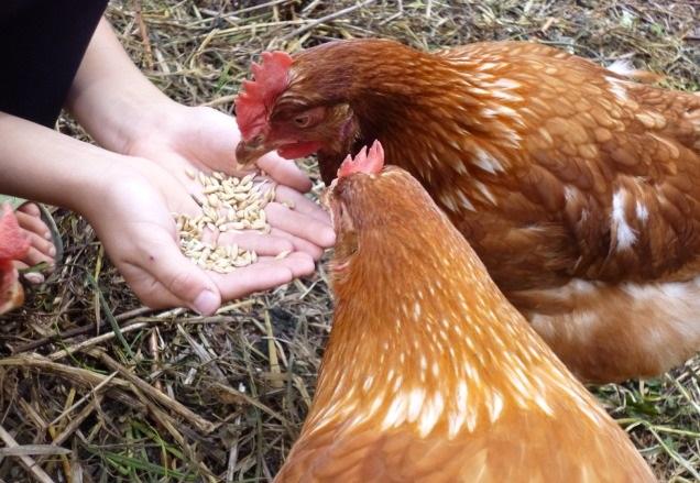 Курочки породы Хайсекс клюют зерно
