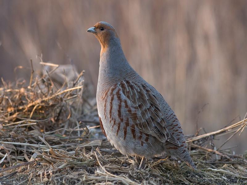Серая птичка в траве